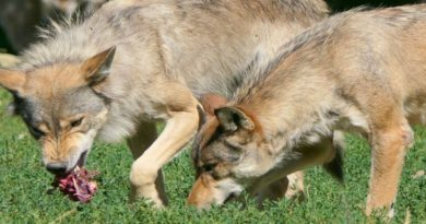 Piano lupo Coldiretti passo avanti salviamo le pecore