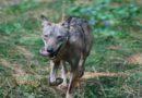 Pregiudizisui lupi sfatati ieri a Sasso Marconi