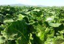 """Barbabietole da zucchero diventano """"benzina"""" biosostenibile"""